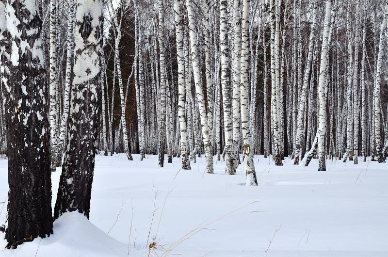 Ландшафт зимы в роще березы стоковое изображение rf