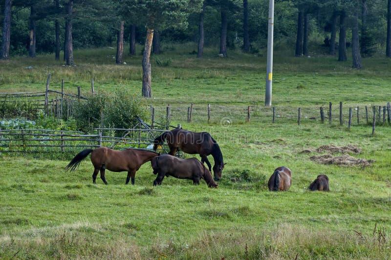 Ландшафт и дикие лошади горы в горе Rila стоковые фотографии rf