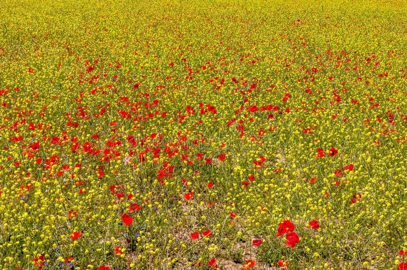 Ландшафт красочного поля мака - моря цветков между зеленой рожью стоковые фотографии rf