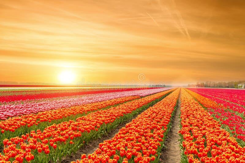 Ландшафт нидерландских тюльпанов с солнечным светом в Нидерландах стоковое фото