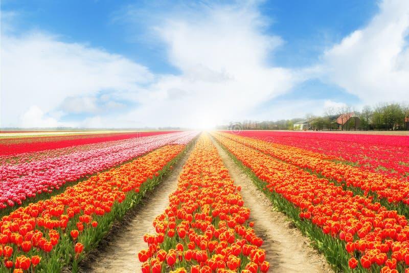 Ландшафт нидерландских тюльпанов с солнечным светом цветастые тюльпаны стоковая фотография