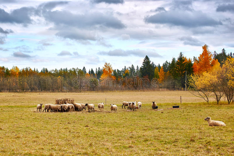 Ландшафт осени с овцами стоковое фото rf