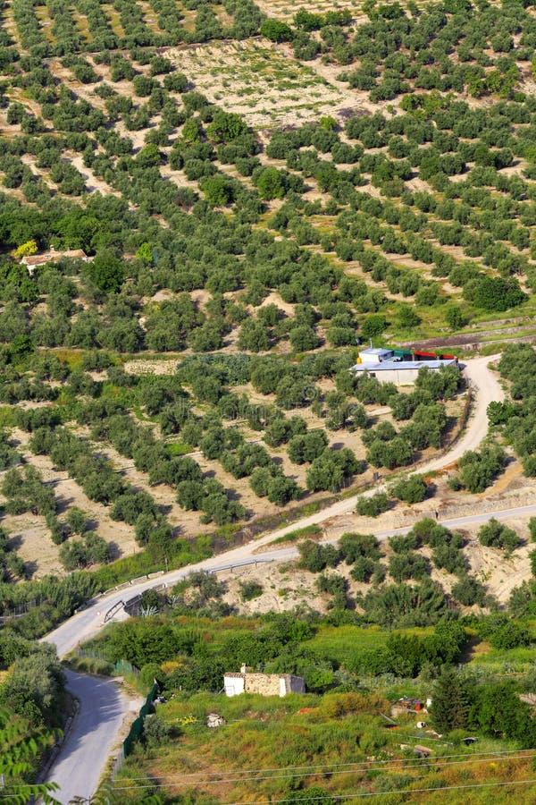 Ландшафт, оливковые рощи, Ubeda, Андалусия, Испания стоковые изображения
