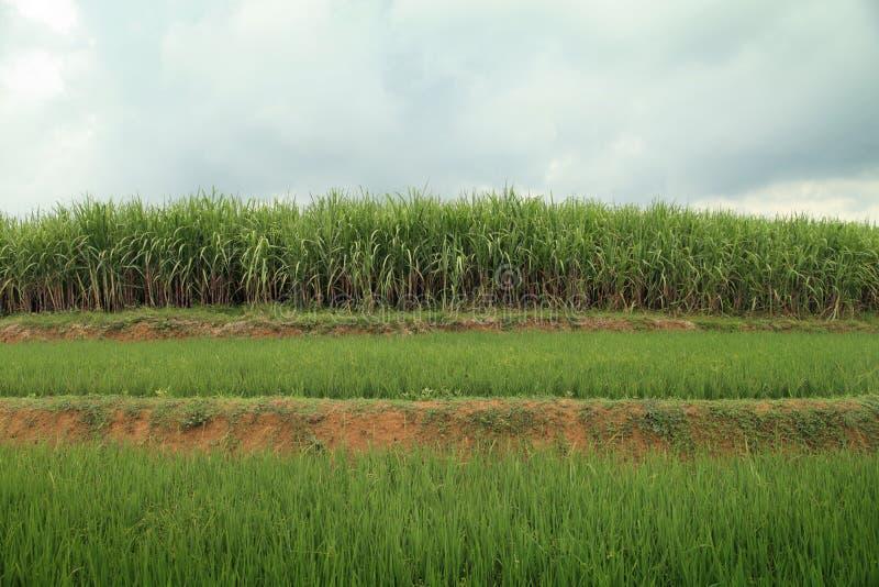 Ландшафт поля сахарного тростника стоковые изображения