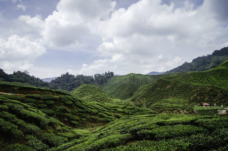 Ландшафт плантации зеленого чая на гористой местности Камерона, Малайзии стоковое фото rf