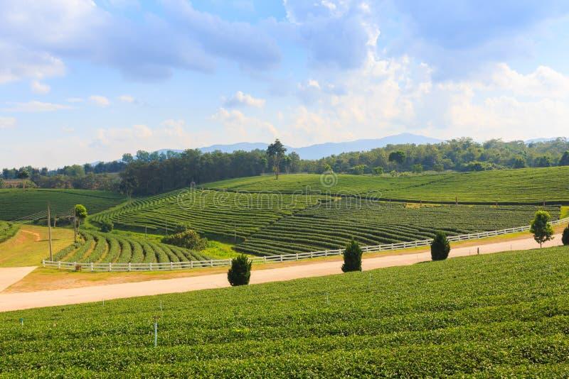 Ландшафт сада плантации зеленого чая, культивирование холма стоковые фото