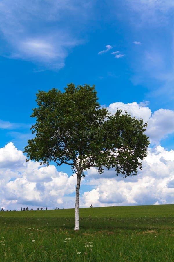 Ландшафт - сиротливое дерево березы на зеленом поле, скамейке в парке стоковое изображение