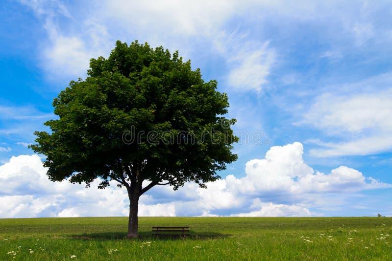 Ландшафт - сиротливое дерево клена на зеленом поле, скамейке в парке стоковые изображения