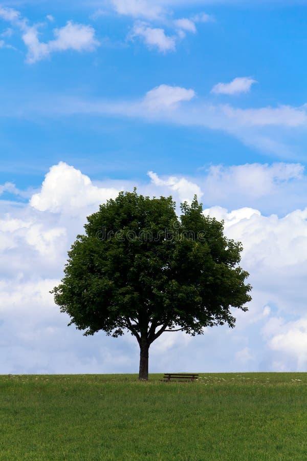 Ландшафт - сиротливое дерево клена на зеленом поле, скамейке в парке стоковое фото rf