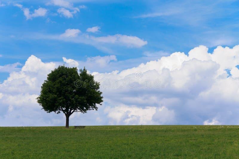 Ландшафт - сиротливое дерево клена на зеленом поле, скамейке в парке стоковое фото