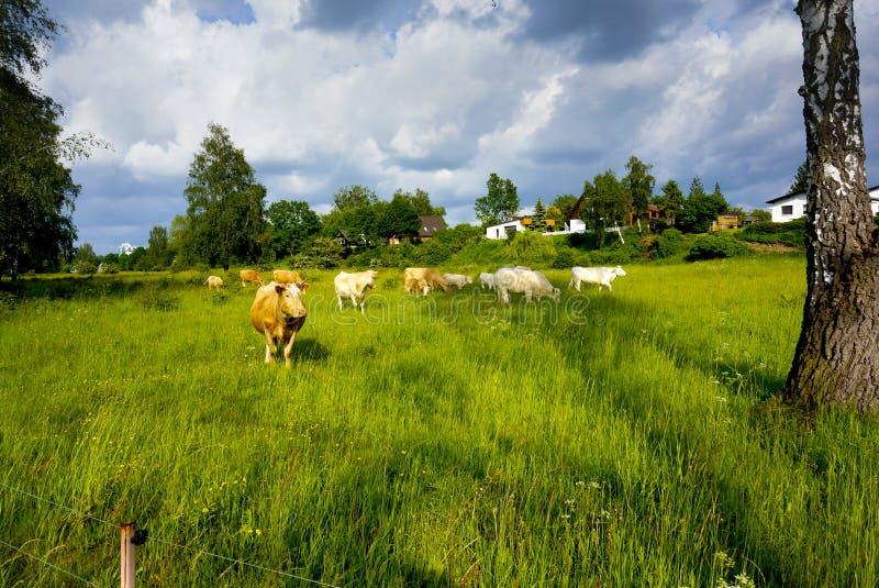 Ландшафт с коровами стоковые фото
