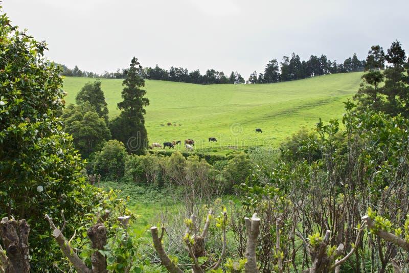 Ландшафт с коровами, Sao Мигель, острова Азорских островов, Португалия стоковое фото rf