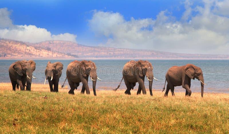 Ландшафт слонов на бечевнике озера Kariba в Зимбабве стоковое изображение