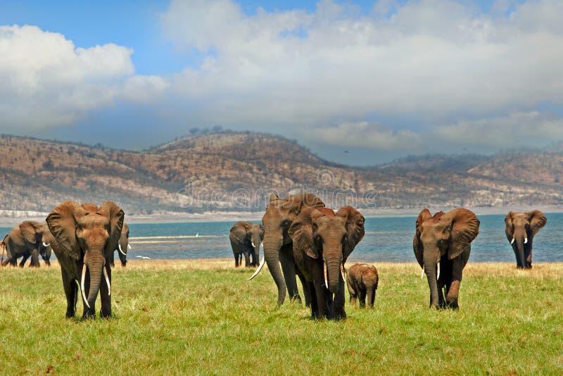 Ландшафт слонов на бечевнике озера Kariba в Зимбабве стоковое фото