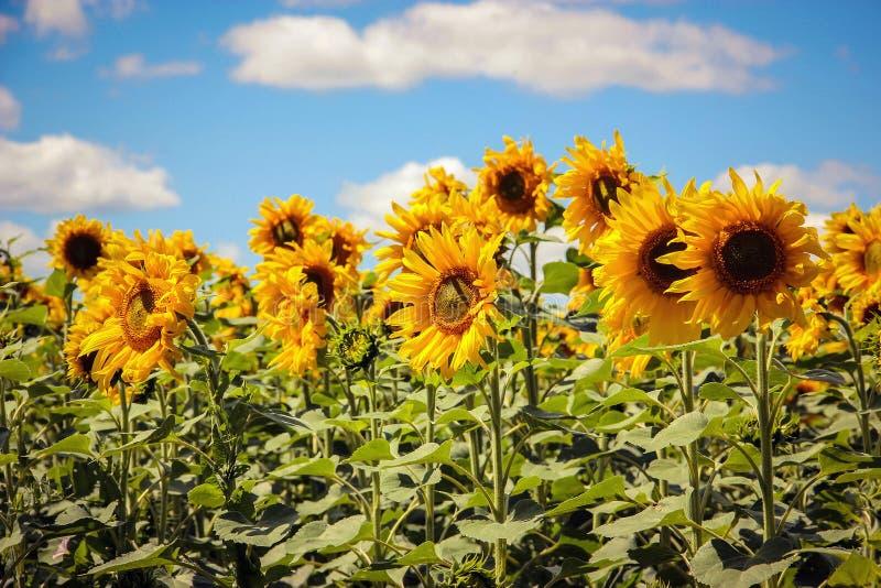 Ландшафт с солнцецветами стоковая фотография