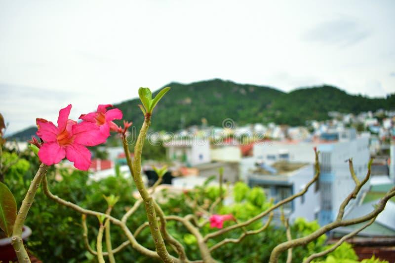 Ландшафт цветков макроса близкий поднимающий вверх розовый в Nha Trang, Вьетнаме стоковые изображения