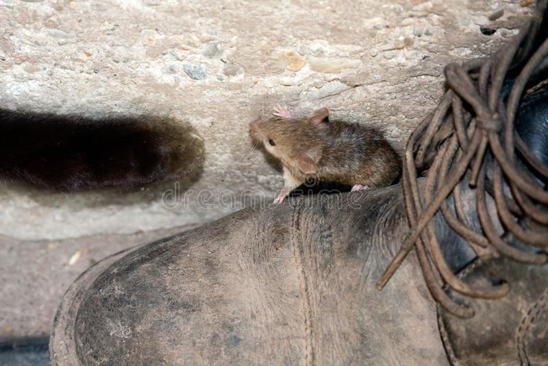 Лапка и мышь черного кота стоковые фотографии rf