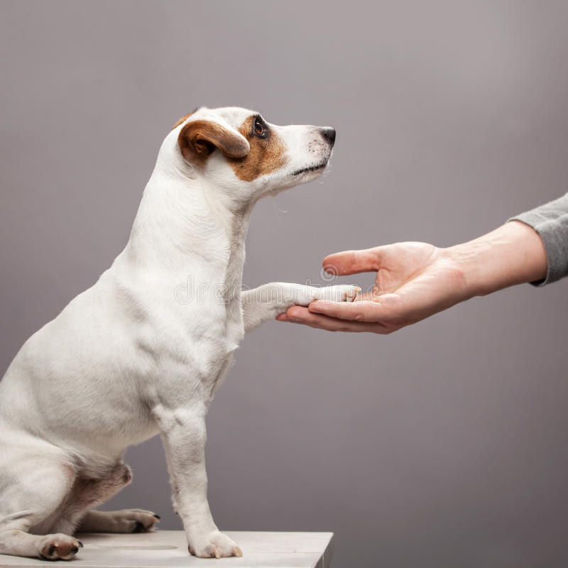 Лапка собаки принимает человека стоковое фото rf