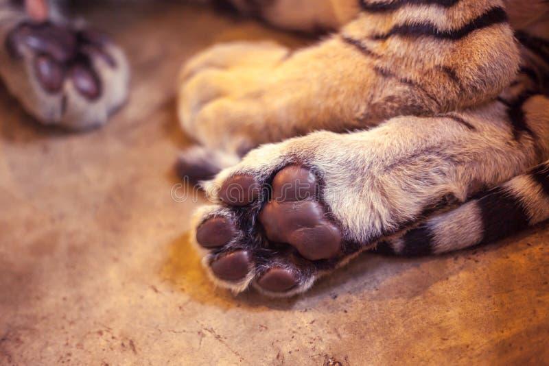Лапка тигра спать стоковое фото rf