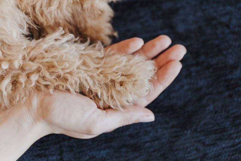 Лапки собаки пуделя игрушки и человеческий конец руки вверх, взгляд сверху приятельство, доверие, любовь, помощь между человеком  стоковая фотография rf