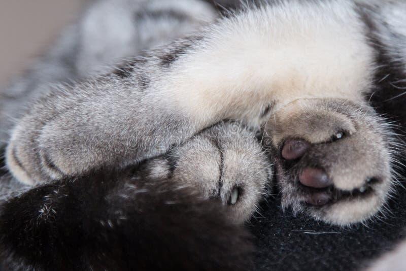 Лапки Scottish складывают котов серого цвета стоковые фотографии rf