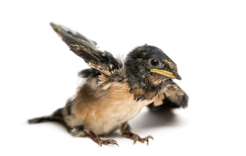 Ласточка амбара младенца пробуя принять, rustica ласточки стоковая фотография rf