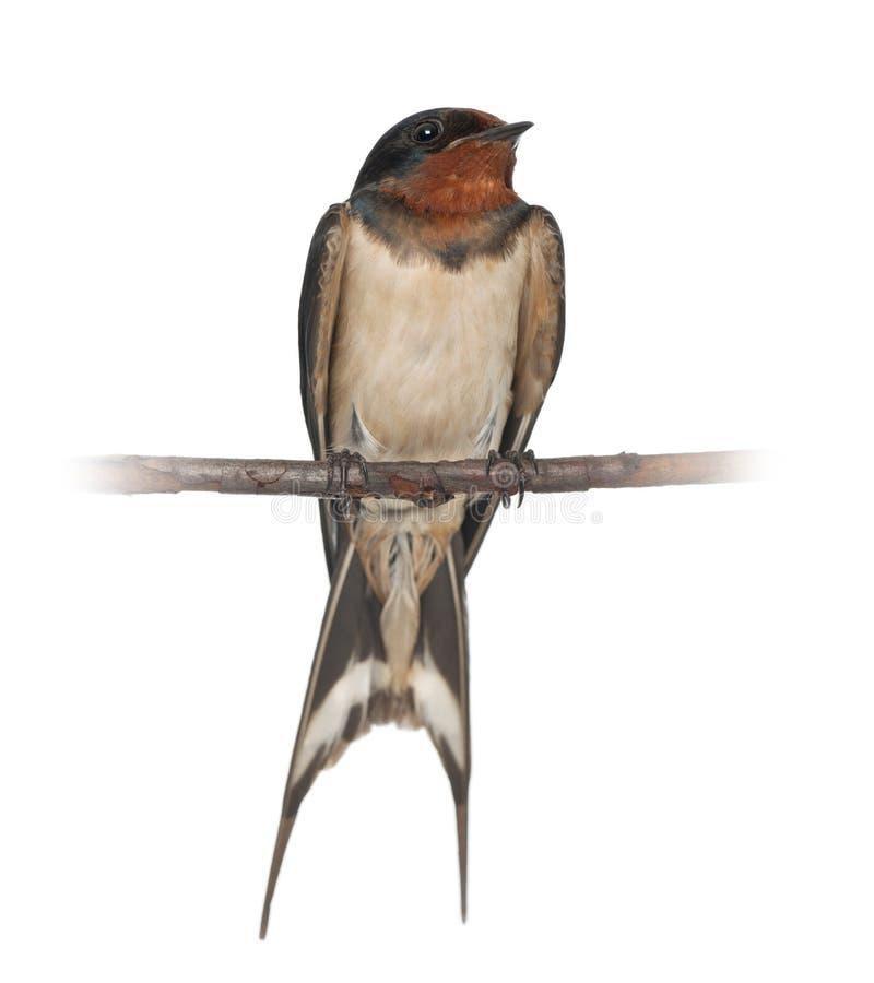 Ласточка амбара, rustica Hirundo, садясь на насест стоковое изображение