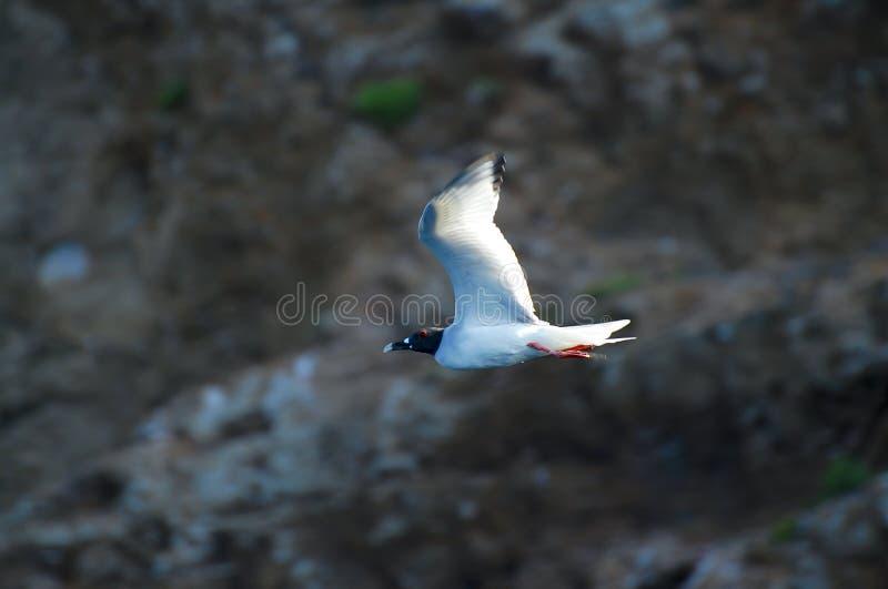 ласточка чайки замкнула стоковая фотография rf