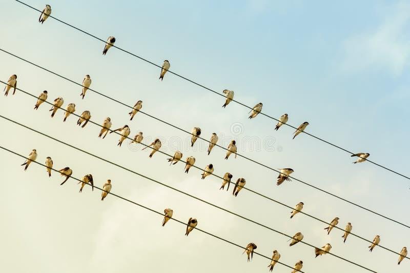 Ласточки на проводе - линии электропередач - в солнце вечера стоковое изображение