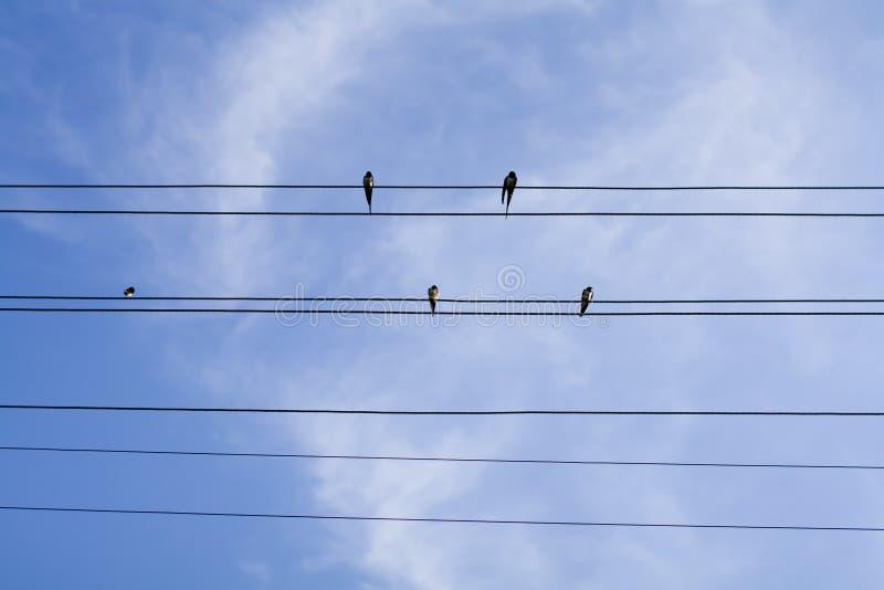 Ласточки сидя на проводах над небом лета голубым стоковые изображения rf