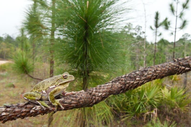 Лаять Treefrog стоковые фото