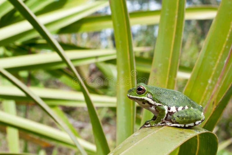 Лаять Treefrog стоковая фотография