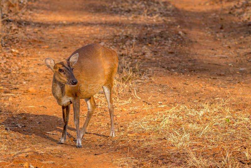 Лаяя олени ища еды на запасе тигра холмов br стоковая фотография rf