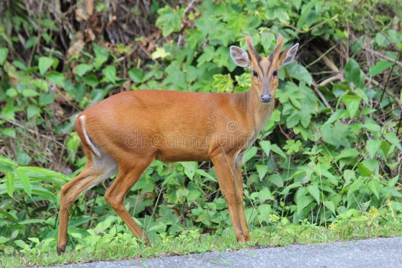 Лаяя олень около дороги в парке стоковые фотографии rf