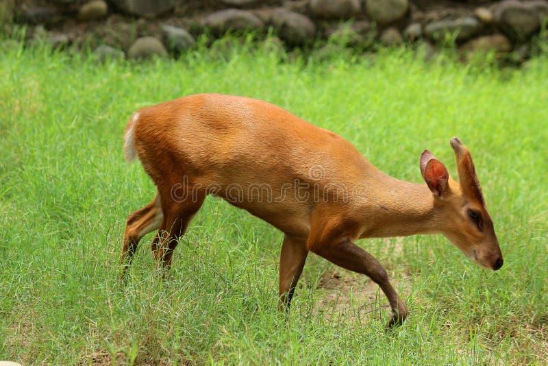 Лаяя олени стоковое изображение