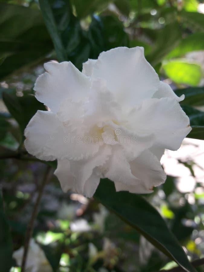 Ла Индия De, восточный индеец rosebay, цветок Pinwheel, divaricata Tabernaemontana стоковые фото