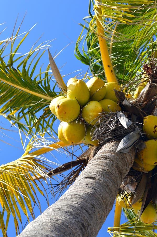 Ладони кокоса вполне кокосов стоковая фотография