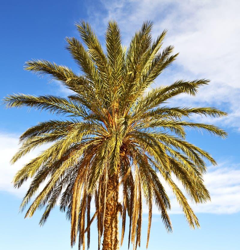 Ладонь в дюне Марокко Сахары Африки oasi пустыни стоковое фото