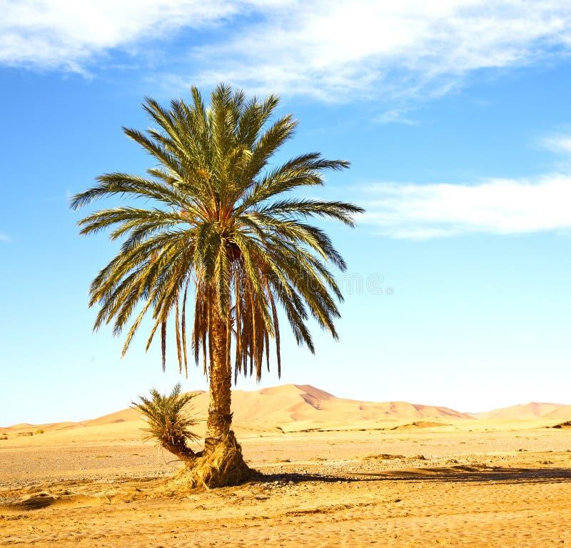 Ладонь в дюне Марокко Сахары Африки oasi пустыни стоковое изображение