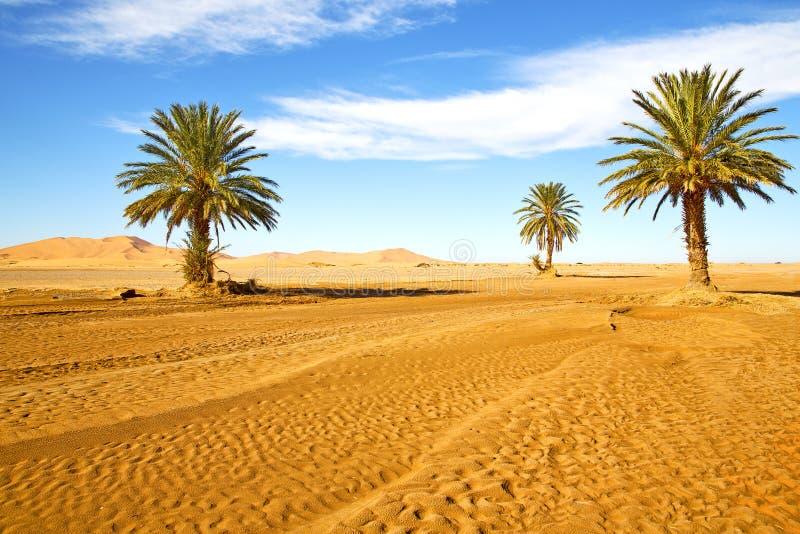Ладонь в oasi Марокко Сахаре Африке пустыни стоковая фотография