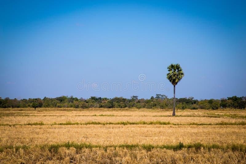 Ладонь сахара с полем риса на голубом небе стоковое изображение rf