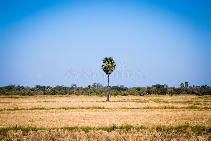 Ладонь сахара с полем риса на голубом небе стоковое фото rf