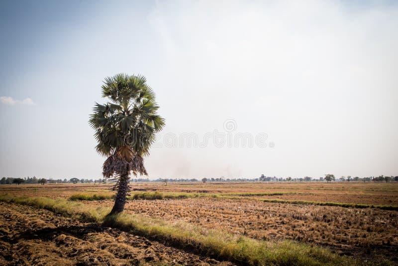 Ладонь сахара с полем риса на голубом небе стоковая фотография rf
