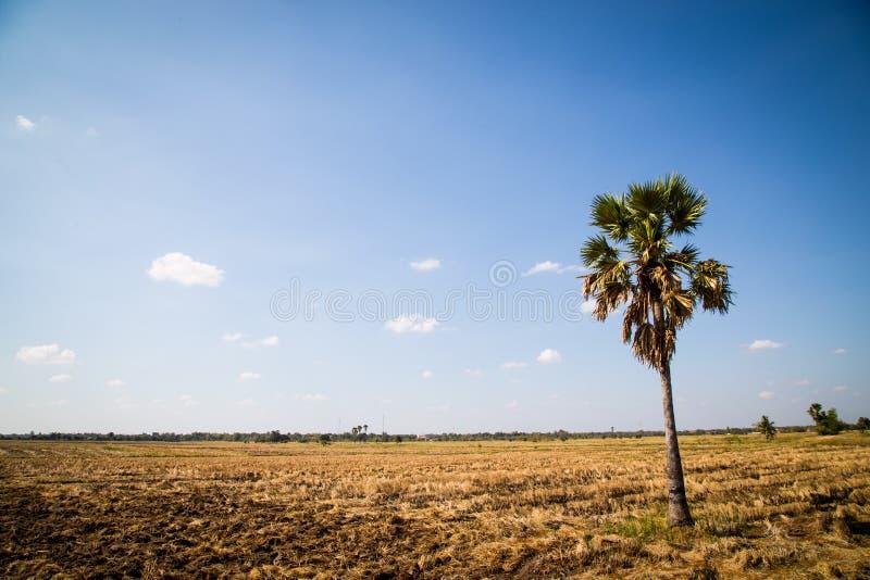 Ладонь сахара с полем риса на голубом небе стоковые изображения