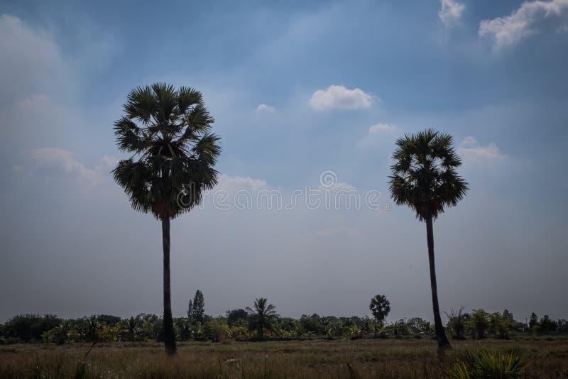 Ладонь сахара с полем риса, хлевом силуэта стоковое изображение