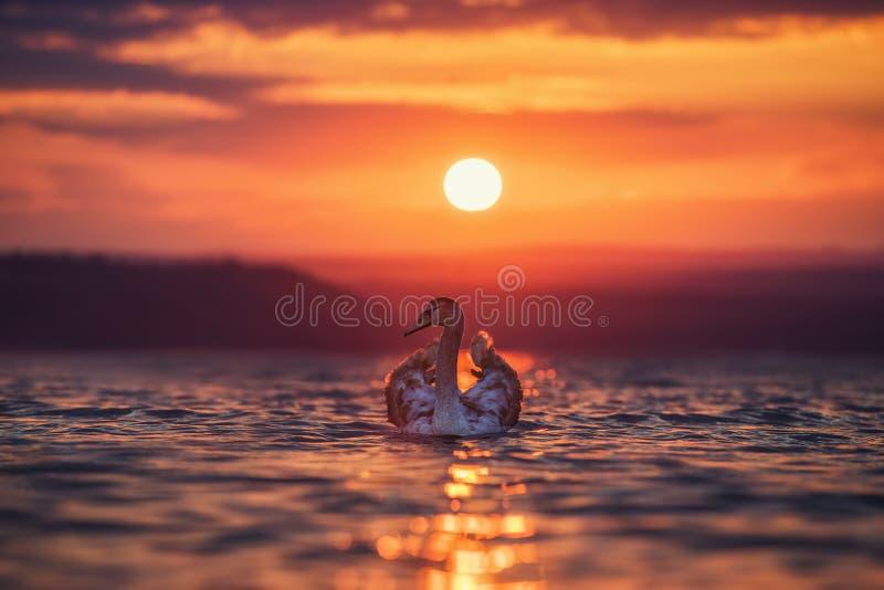 Download Лебеди в море и красивом заходе солнца Стоковое Фото - изображение: 104762390