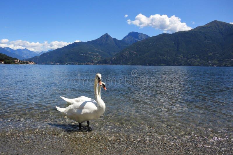 Лебеди в озере como стоковые фото
