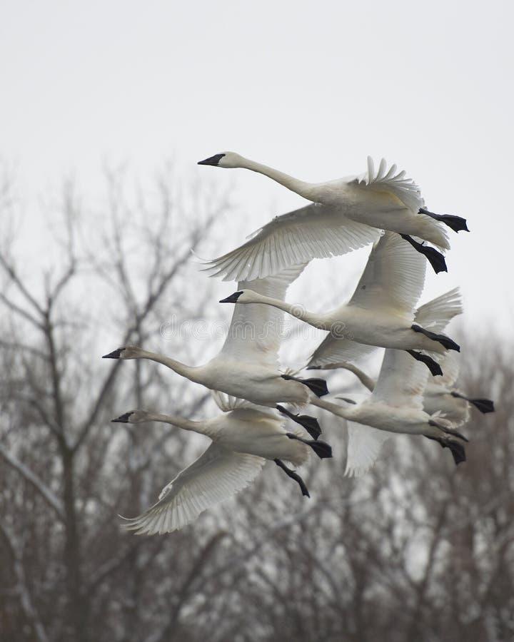 лебеди летания семьи стоковое изображение rf