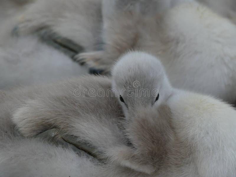 Лебеди младенца, молодые лебеди, отдыхая совместно заполняющ все изображение Может увидеть глаза одного молодого лебедя смотреть  стоковое изображение