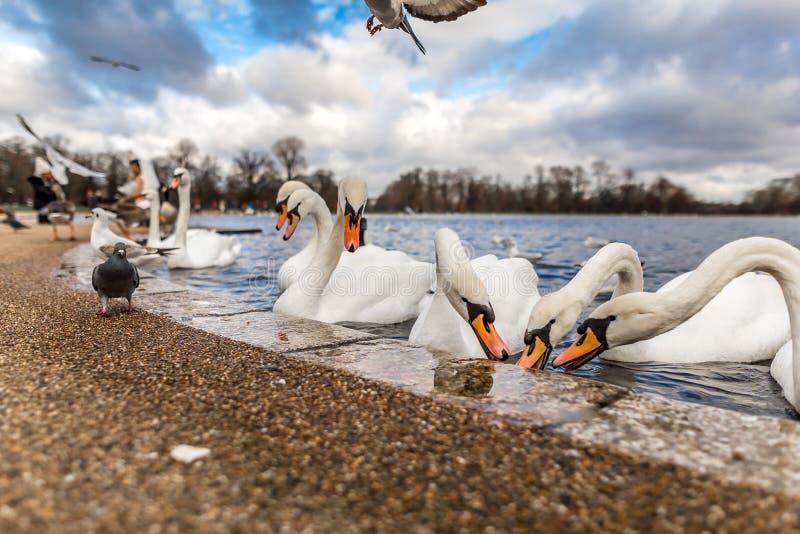 Лебеди на круглом пруде в Гайд-парке, Лондоне стоковое фото
